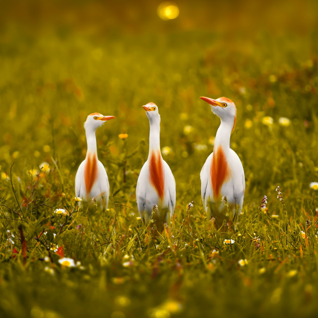 White and orange storks wallpaper 1024x1024