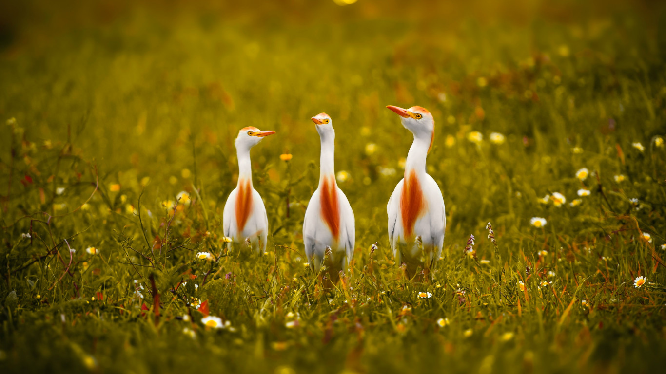 White and orange storks wallpaper 1366x768