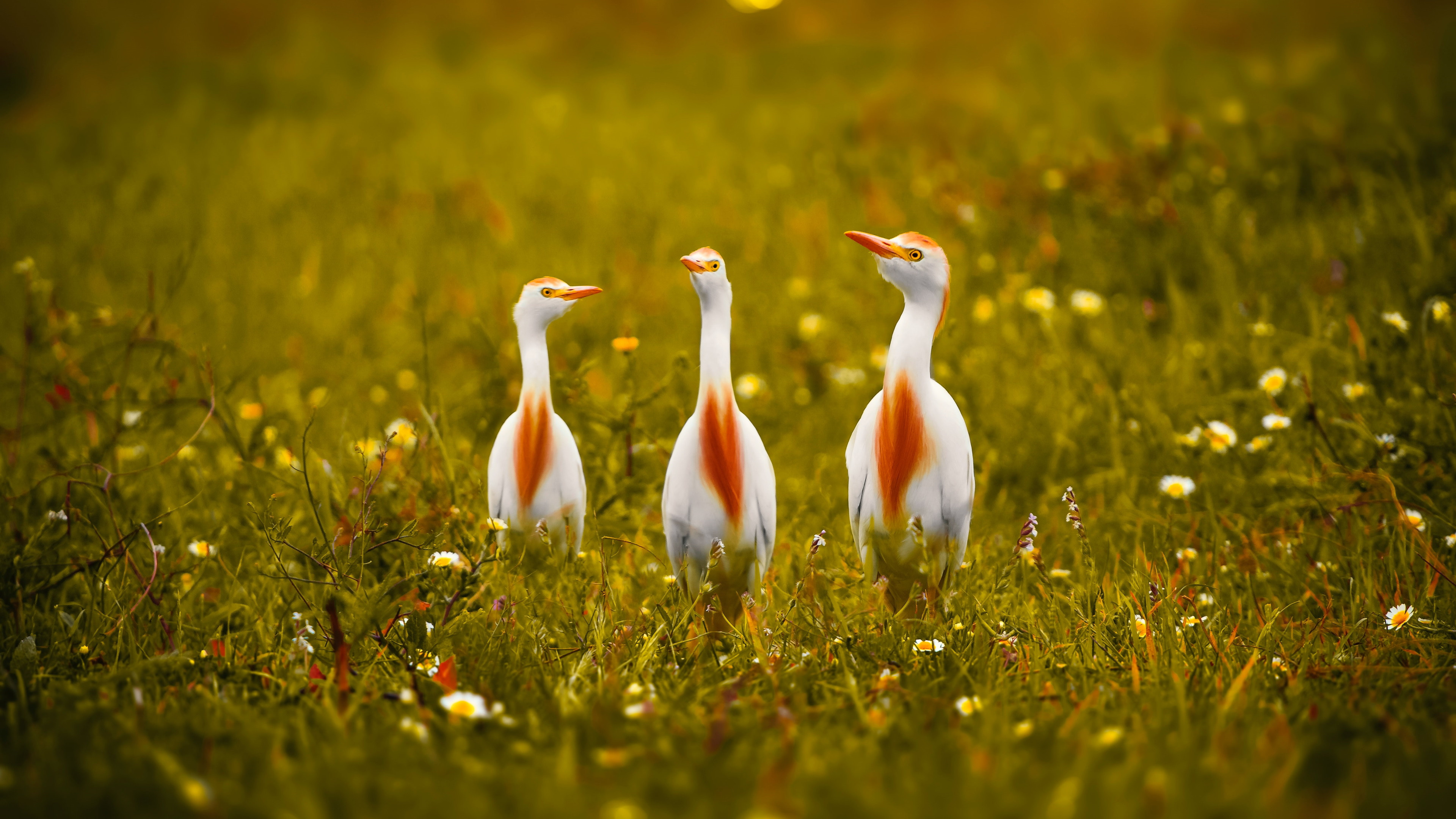 White and orange storks wallpaper 3840x2160