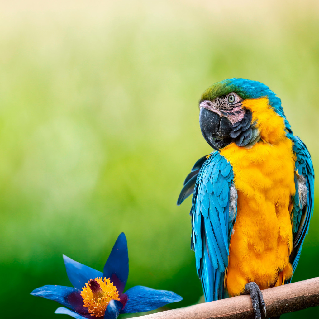 Beautiful Macaw parrot wallpaper 1024x1024