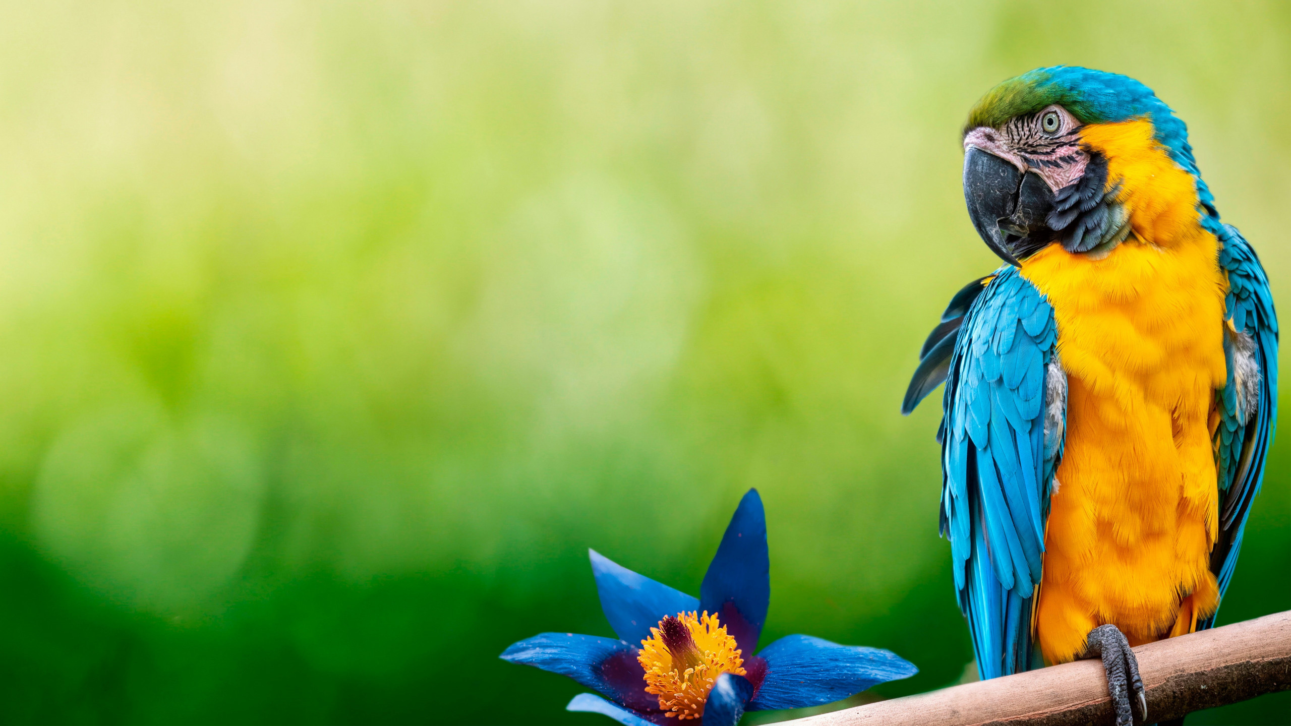 Beautiful Macaw parrot wallpaper 2560x1440