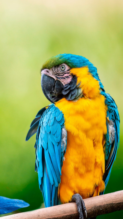 Beautiful Macaw parrot wallpaper 480x854